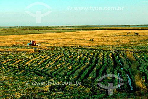 Coleta de arroz - Rio Grande do Sul - Brasil / Harvest of rice - Rio Grande do Sul - Brazil  - Rio Grande do Sul - Brasil