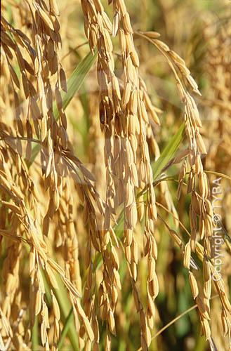 Detalhe de plantação de arroz seco - Panícula Uruguaiana - RS - Brasil  - Uruguaiana - Rio Grande do Sul - Brasil