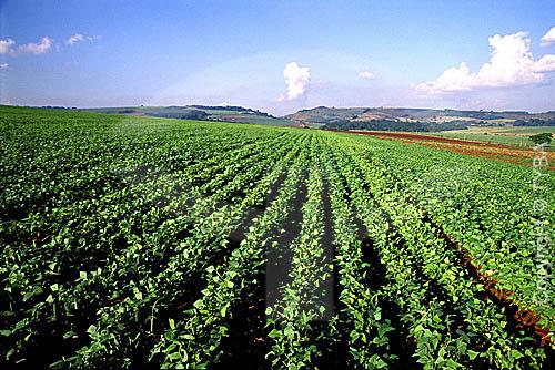 Assunto: Plantação de feijão / Local: Porto Ferreira - São Paulo - SP - Brasil / Data: 06/1998