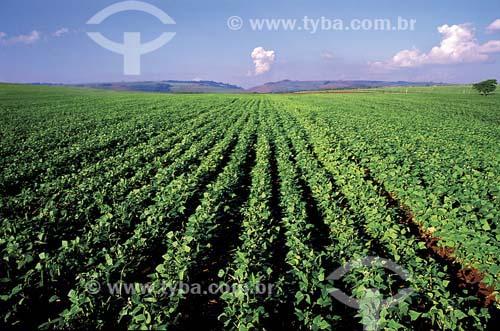 Plantação de Feijão - Porto Ferreira - SP - Brasil   - Porto Ferreira - São Paulo - Brasil
