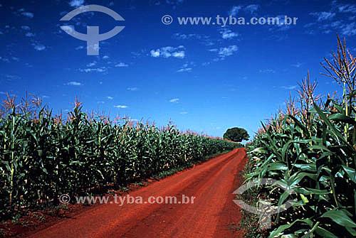 Estrada de terra cortando plantação de milho - Ibiporã - MG - Brasil  - Ibiporã - Minas Gerais - Brasil