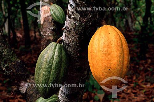 Duas frutas de cacau, uma verde e uma madura penduradas na árvore - AM - Brasil  - Amazonas - Brasil