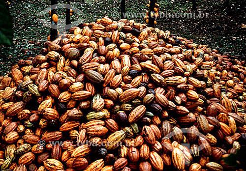 Frutas de cacau empilhadas após colheita - Amazônia - Brasil