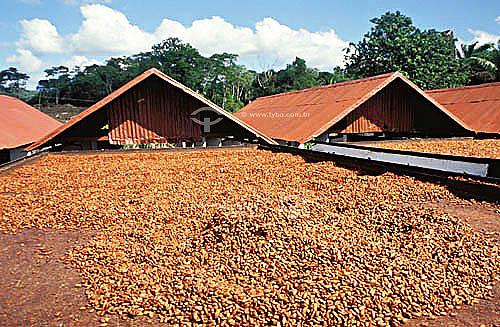 Fazenda de cacau no Sul da Bahia - Brasil  - Bahia - Brasil