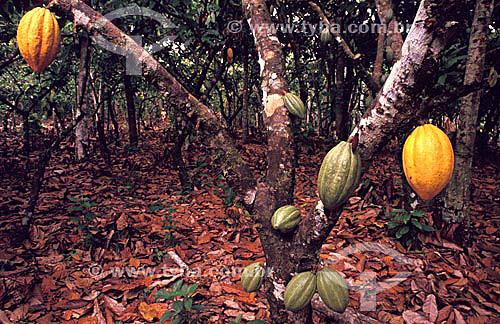 Frutas de cacau: verde e duas maduras  penduradas na árvore - Brasil