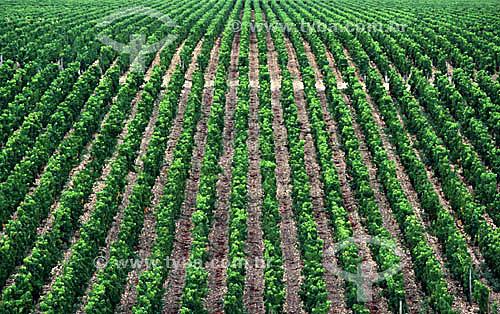 Cultura de uvas ou viticultura, vinha