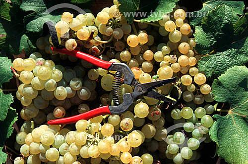Ferramenta para colheita de uvas, viticultura, vinha