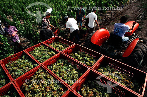 Homens em colheita de uvas