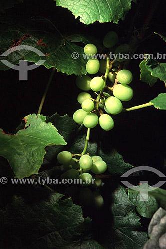Detalhe de cacho de uvas brancas, viticultura, vinha - Caraça - MG- Brasil  - Catas Altas - Minas Gerais - Brasil