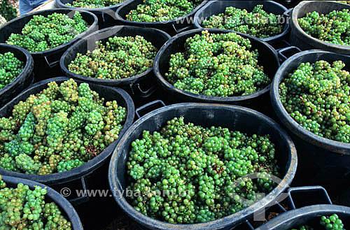 Colheita de uvas brancas, viticultura, vinha