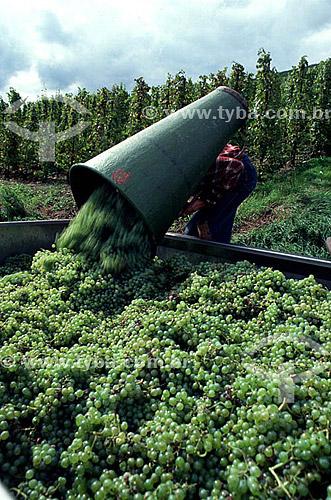 Homem em colheita de uvas, Viticultura, Vinhas