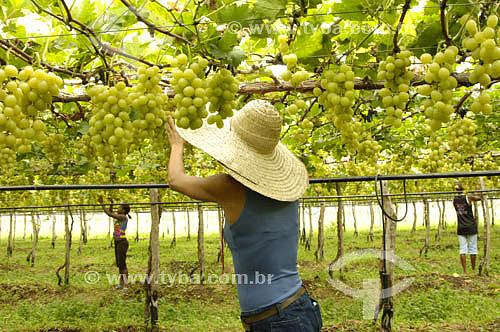 Parreira de uva Itália - Vale do São Francisco - Petrolina - PE - BrasilData: 05/2006