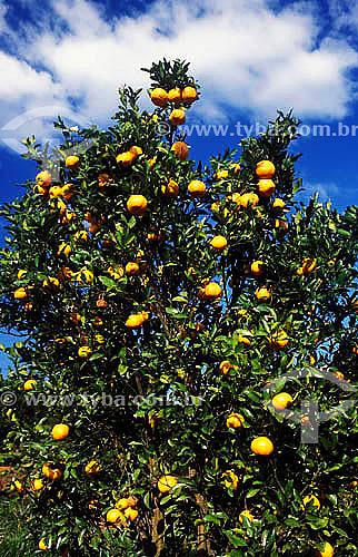 Pé de tangerina Pocan carregado - MG - Brasil  - Minas Gerais - Brasil