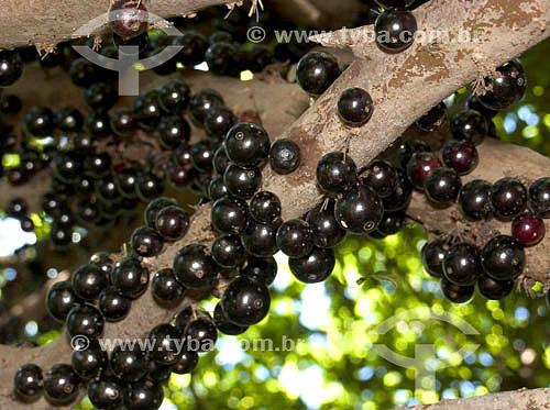(Myrciaria cauliflora) Fruta - Jabuticaba