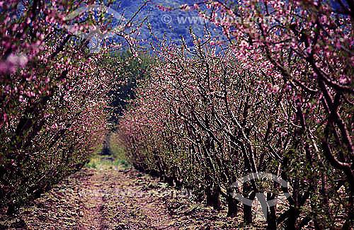 Assunto: Vista de plantação de Pêssegos / Local:  / Data: Década de 90