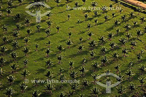 Plantação de Coqueiro - Coqueiral - Norte do Espírito Santo - Nov.2006  - Coqueiral - Espírito Santo - Brasil