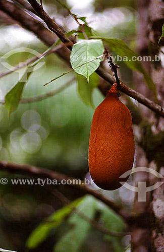 (Theobroma grandiflorum) - Cupuaçu - fruta típica do Norte-Nordeste - Brasil  - Theobroma - Pará - Brasil