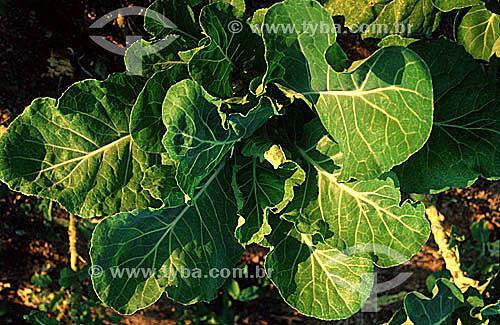 Couve, horticultura - Brasil