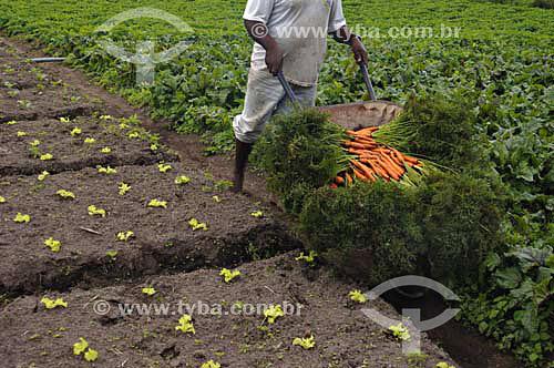Homem colhendo cenoura em Horta Orgânica - São José do Vale do Rio Preto - Rio de Janeiro - BrasilData: 24/11/2006