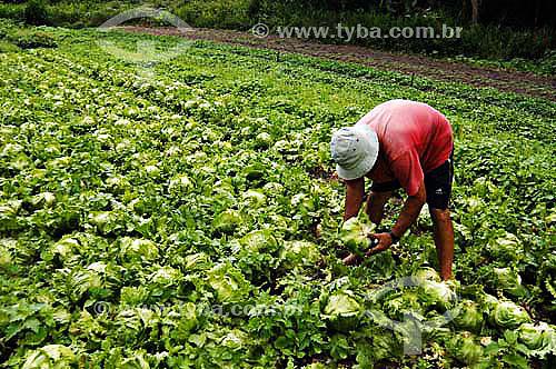 Homem colhendo alface em horta orgânica - São José do Vale do Rio Preto - Rio de Janeiro - BrasilData: 24/11/2006