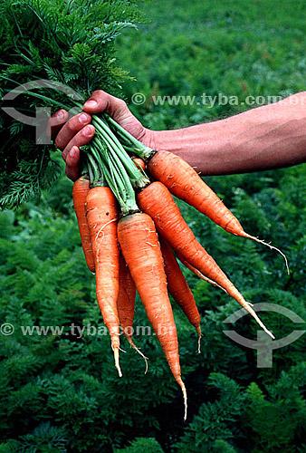 Detalhe de mão segurando ramalhete de cenouras - Brasil