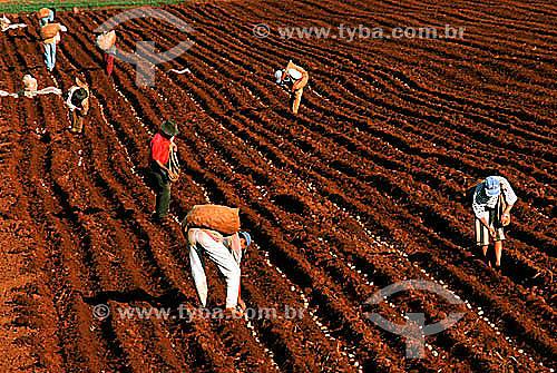 Homens no cultivo manual em plantação de batatas - Porto Ferreira village - Brasil  - Porto Ferreira - São Paulo - Brasil
