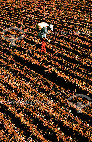 Homens no cultivo manual em plantação de batatas - Porto Ferreira - Brasil  - Porto Ferreira - São Paulo - Brasil