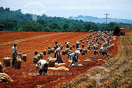 Assunto: Colheita manual em plantação de batata / Local: Três Corações - Minas Gerais (MG) - Brasil / Data: 1996