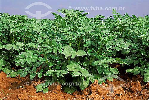 Agricultura - Plantação de batatas - Porto Ferreira - São Paulo - Brasil  - Porto Ferreira - São Paulo - Brasil