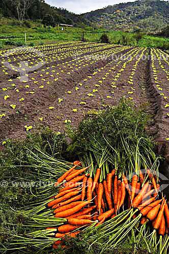 Monte de cenouras em Horta Orgânica - São José do Vale do Rio Preto - Rio de Janeiro - BrasilData: 24/11/2006