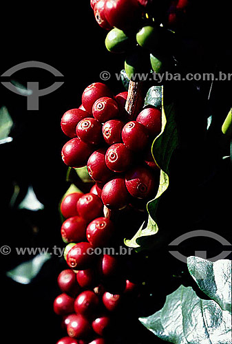 Café (Coffea arabica) - Coromandel - MG -Brasil  - Coromandel - Minas Gerais - Brasil