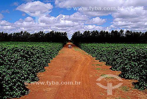 Plantação de café - Cerrado - Coromandel - MG - Brasil  - Coromandel - Minas Gerais - Brasil