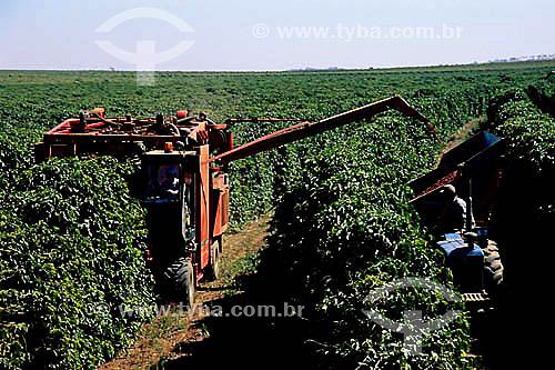 Colheita mecanizada em plantação de café (Coffea arabica) - Carmo do Paraíba - MG - Brasil  - Minas Gerais - Brasil