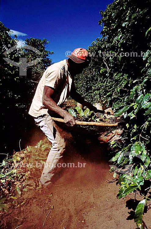 Agricultura - Bóia fria (trabalhador rural)  peneirando café durante a colheita - Minas Gerais - Brasil  - Minas Gerais - Brasil