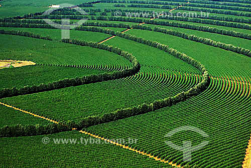 Agricultura - Plantação de café  - Coromandel - MG - Brasil / Data: 1997