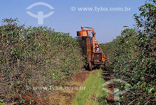 Agricultura - Plantação de café - Derriça (tirar os frutos dos galhos correndo a mão de cima para baixo e deixando-os cair no chão) com máquina - Dumont - São Paulo - Brasil  - São Paulo - São Paulo - Brasil