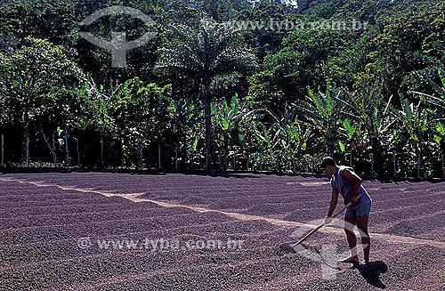 Agricultura - Trabalhador rural espalhando café para secagem - Município de Guaramiranga - Serra do Baturité - Ceará  - Guaramiranga - Ceará - Brasil