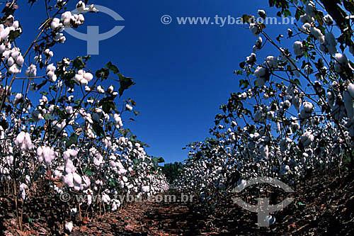 Plantação de algodão - Porteirão - GO - Brasil  - Porteirão - Goiás - Brasil