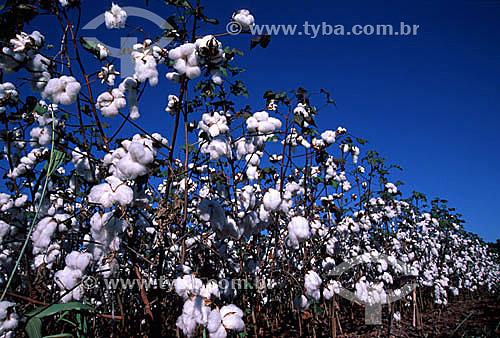 Plantação de algodão , Capulho - Porteirão - GO - Brasil  - Porteirão - Goiás - Brasil