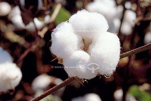 Detalhe da pluma do algodão - Itiquira - MT - Brasil  - Itiquira - Mato Grosso - Brasil