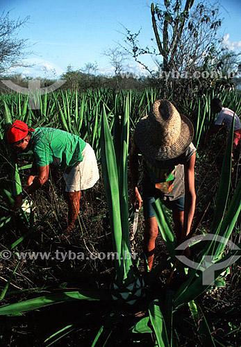 Trabalho familiar de extração da folha de sisal - Valente - BA - Brasil - Data: 1996