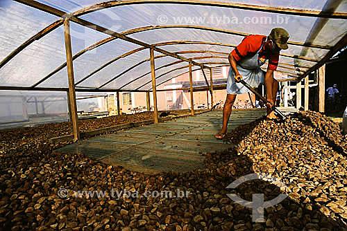 Secagem de castanhas na COPAEB (Cooperativa Agroextrativista de Brasiléia), município de Brasiléia - Acre(maio de 2001)  - Brasiléia - Acre - Brasil