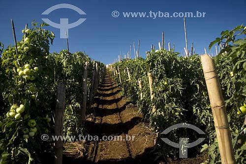 Plantação de tomates / Local: Secretário - Rio de Janeiro - RJ - Brasil / Data: 04/2007