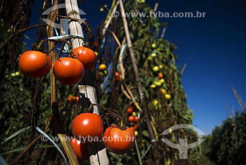 Tomates em plantação / Local: Secretário - Rio de Janeiro - RJ - Brasil / Data: 04/2007