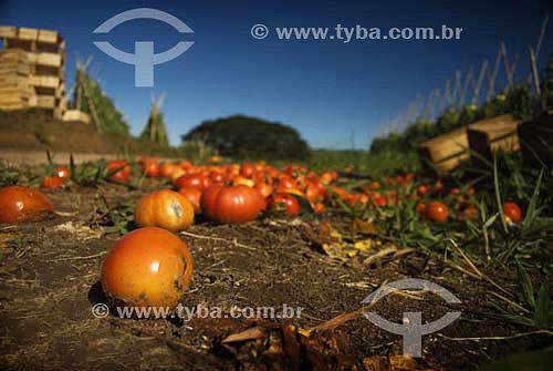 Tomates no chão ao redor de plantação - RJ - Brasil  - Rio de Janeiro - Brasil