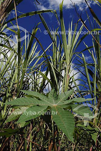 Mamona - planta usada para confecção do combústivel Biodiesel