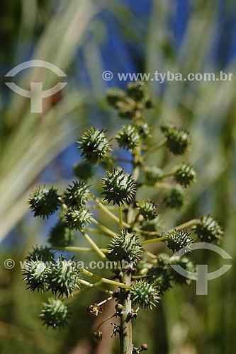 Detalhe de fruto de mamona - planta usada para confecção do combústivel Biodiesel