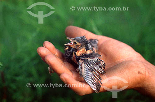 Detalhe de mão segurando filhote de pássaro - Brasil