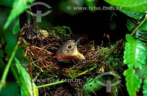 Aves - (Formicivora erythronotos) Formigueiro-de-cabeça-negra - fêmea no ninho - Estado do Rio de Janeiro - Brasil  - Formigueiro - Rio de Janeiro - Brasil
