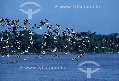 Vôo de pássaros - PARNA Pantanal Matogrossense - MT - Brasil  A área é Patrimônio Mundial pela UNESCO desde 2000.  - Mato Grosso - Brasil